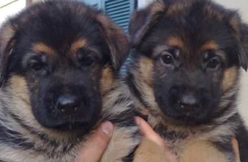 Cuccioli nati da accoppiamento pastori tedeschi Casa Massarelli